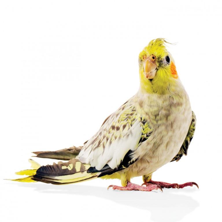 CoryVanNote-Portfolio-2016-PetSmart-BrandShoot-Bird-Cockatiel