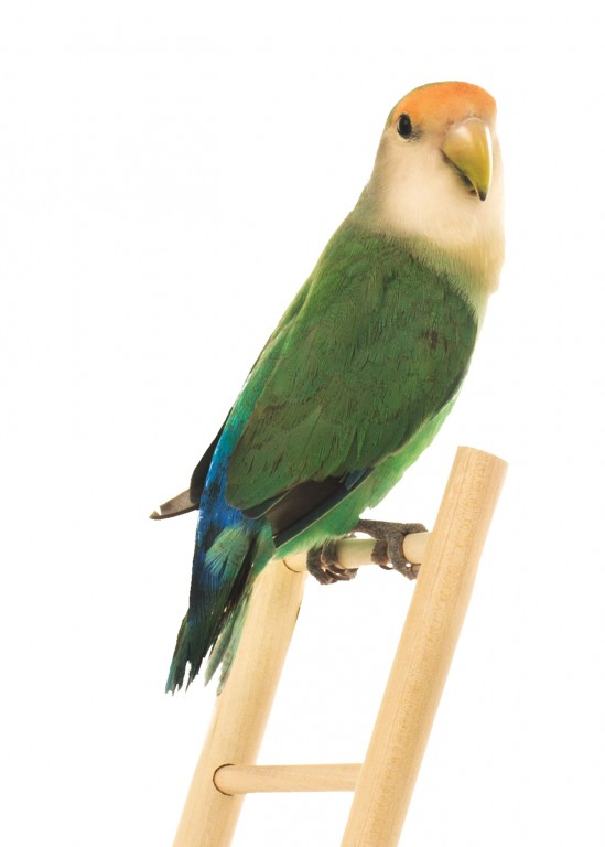 CoryVanNote-Portfolio-2016-PetSmart-BrandShoot-Bird-LovebirdOnLadder