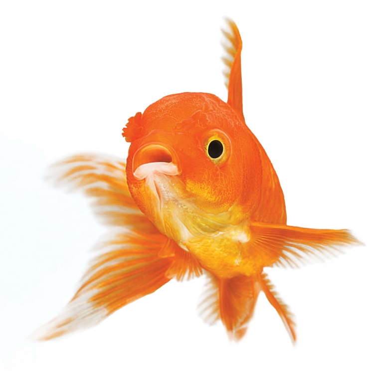 CoryVanNote-Portfolio-2016-PetSmart-BrandShoot-Fish-Goldfish