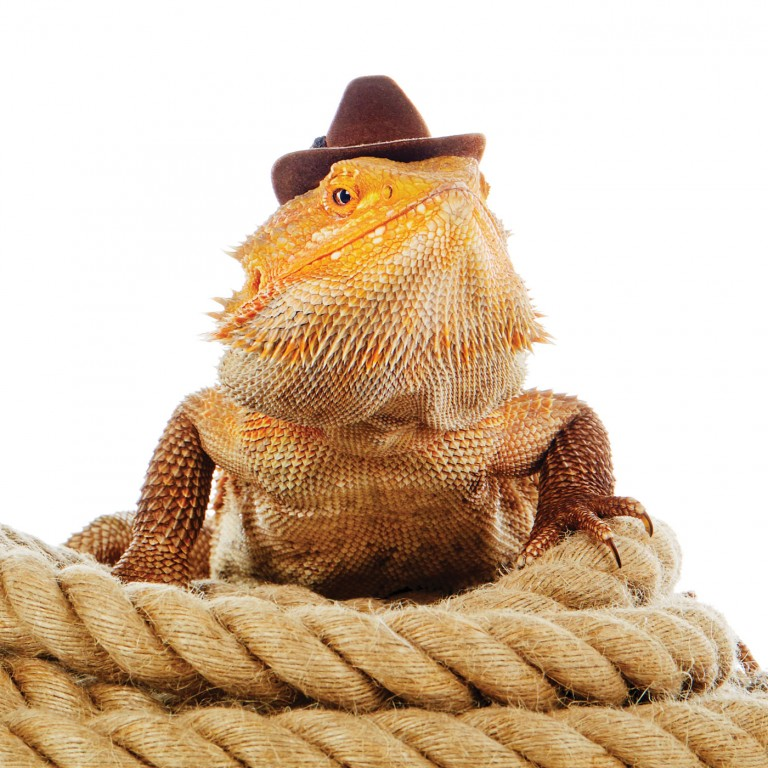 CoryVanNote-Portfolio-2016-PetSmart-BrandShoot-Reptile-BeardedDragonCowboy