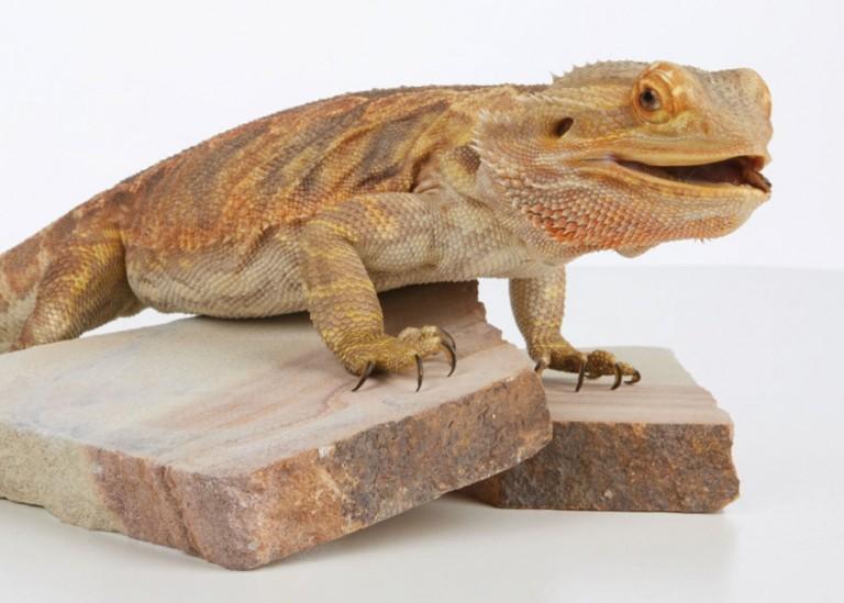 CoryVanNote-Portfolio-2016-PetSmart-BrandShoot-Reptile-BeardedDragonOnRocks