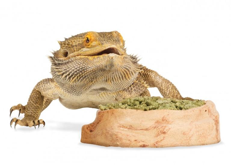 CoryVanNote-Portfolio-2016-PetSmart-BrandShoot-Reptile-BeardedDragonWFood