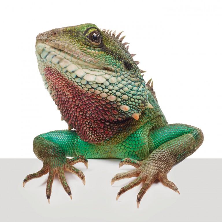 CoryVanNote-Portfolio-2016-PetSmart-BrandShoot-Reptile-ChineseWaterDragonOnLedge