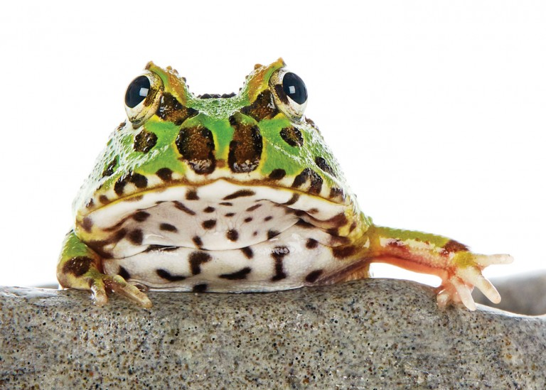 CoryVanNote-Portfolio-2016-PetSmart-BrandShoot-Reptile-FrogOnRock