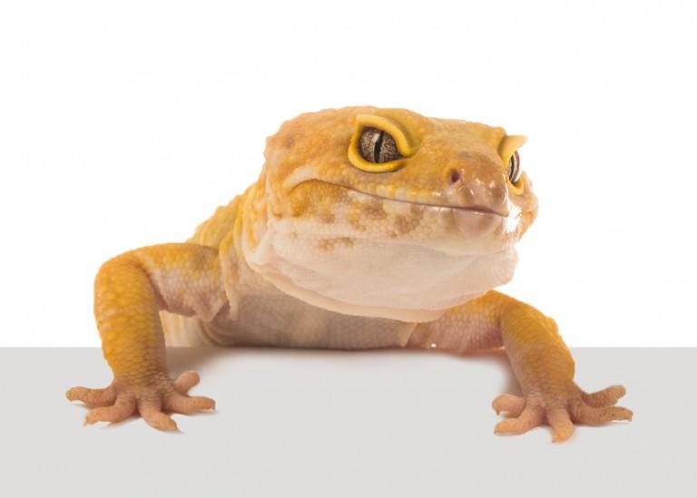 CoryVanNote-Portfolio-2016-PetSmart-BrandShoot-Reptile-LeopardGeckoOnLedge