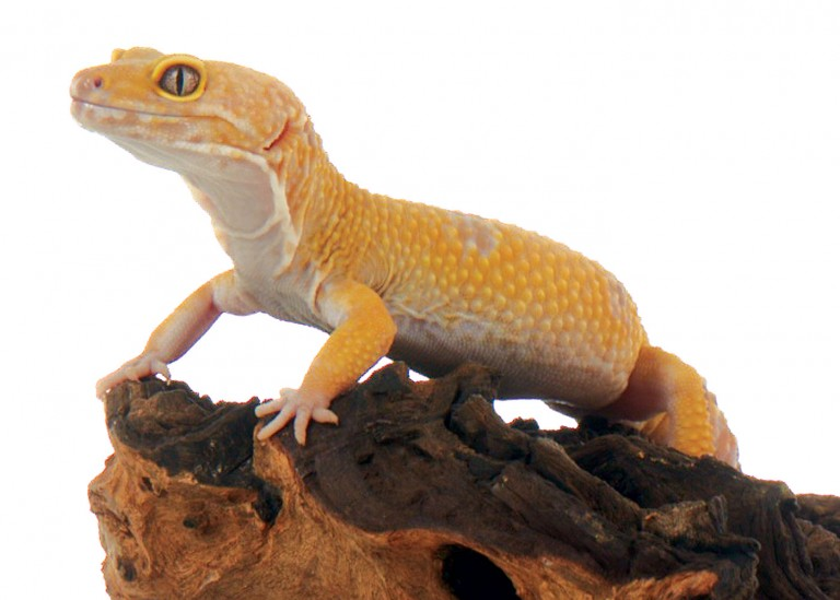 CoryVanNote-Portfolio-2016-PetSmart-BrandShoot-Reptile-LeopardGeckoOnLog