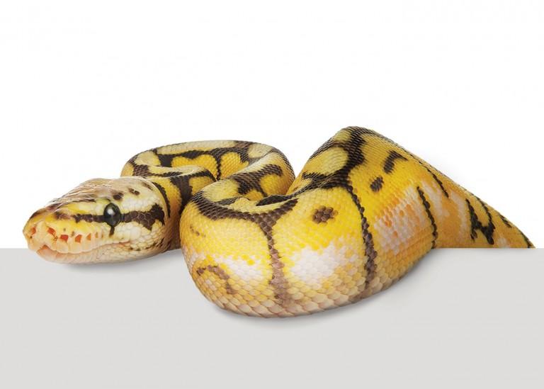 CoryVanNote-Portfolio-2016-PetSmart-BrandShoot-Reptile-SnakeOnLedge