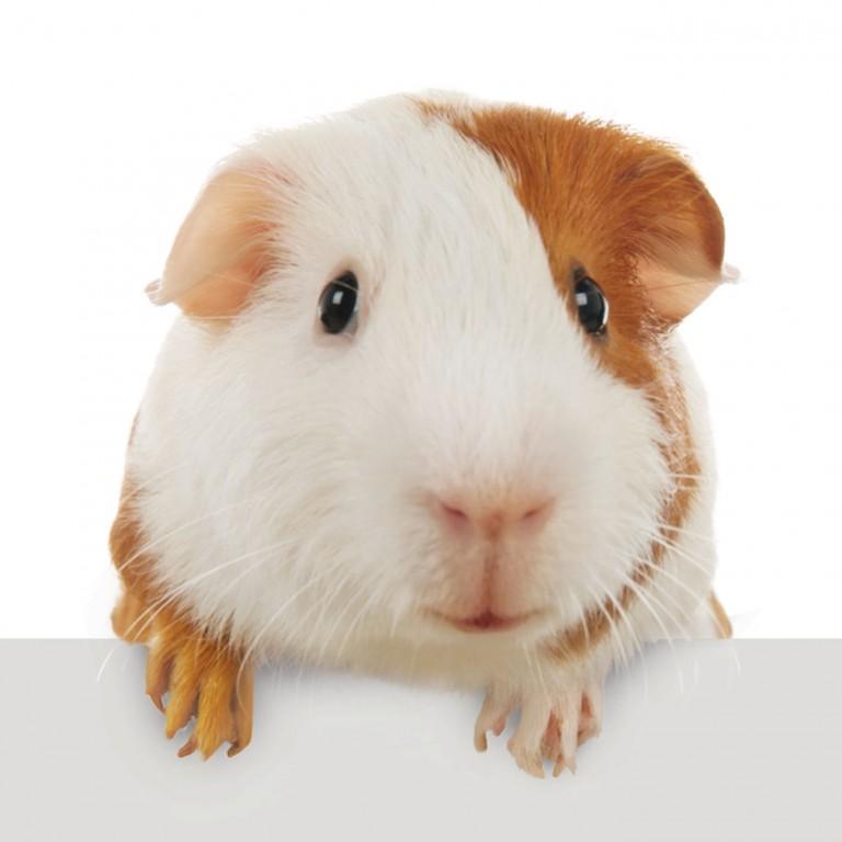 CoryVanNote-Portfolio-2016-PetSmart-BrandShoot-SmallPet-GuineaPigOnLedge