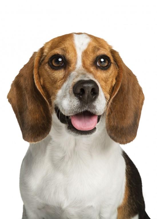 CoryVanNote-Portfolio-2016-PetSmart-ServicesShoot-WhiteSweep-Beagle