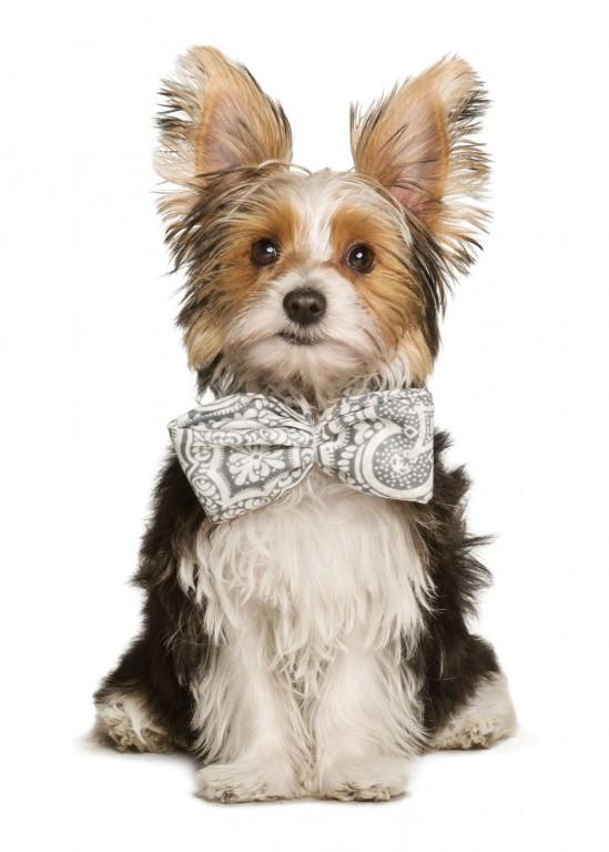 CoryVanNote-Portfolio-2016-PetSmart-ServicesShoot-WhiteSweep-Bowtie